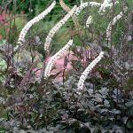 Actaea Black Negligee
