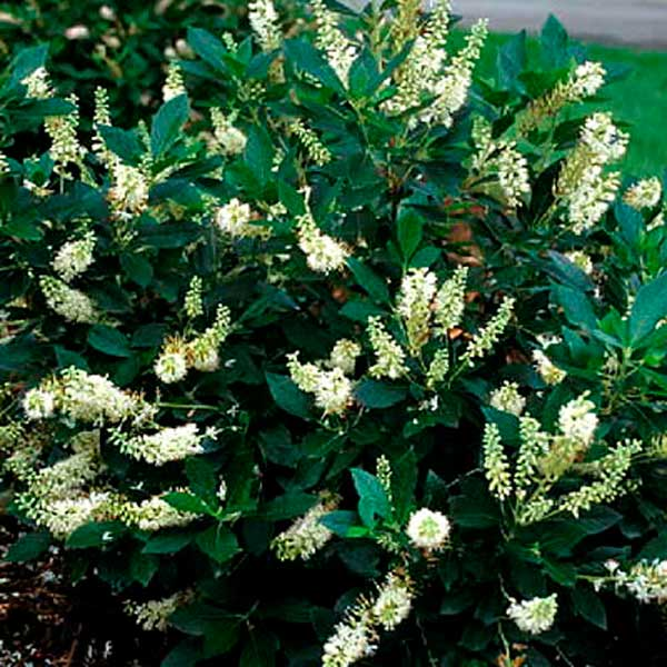 New shrubs for 2011 paddock plants update for Small evergreen flowering trees
