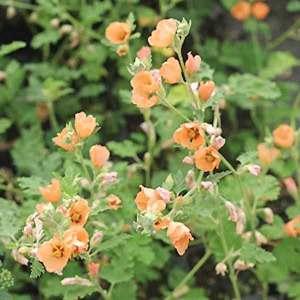 Spaeralcea Childerley