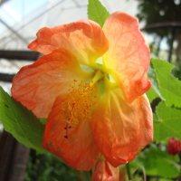 Abutilon_Lucky_Lantern_Tangerine