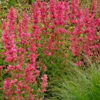 Agastache_Raspberry_Summer