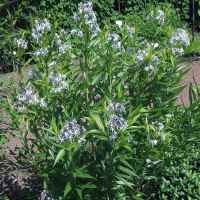 Amsonia_Blue Ice_2