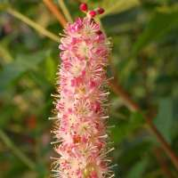 Clethra_Ruby_Spice