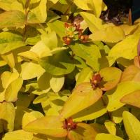 Hypericum_Golden_Beacon_PP3