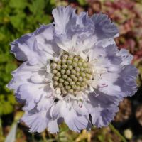 Scabiosa_Clive_Greaves_PP1