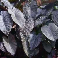 Colocasia_Diamond_Head