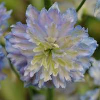 Delphinium_Highlander_Moonlight