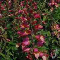 Digitalis_Illumination_Pink